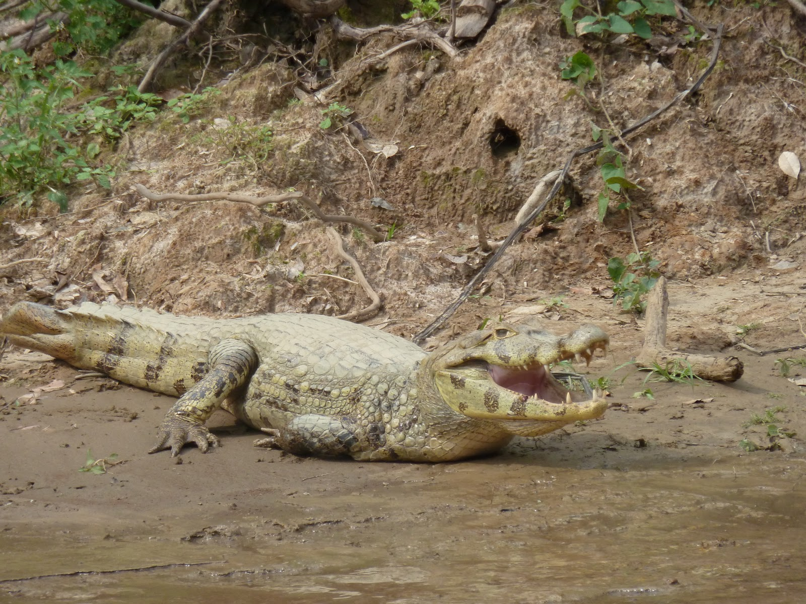 Bolivian anaconda - photo#12