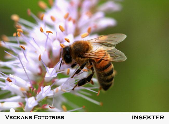 Veckans fototriss: insekter