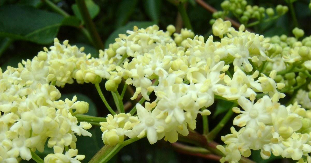 Jardin de la salud plantas medicinales sauco sambucus for Jardin botanico medicinal