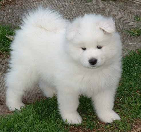 Samoyed+cross+labrador