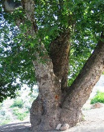 Sycamore tree in Hajikan at Rajo