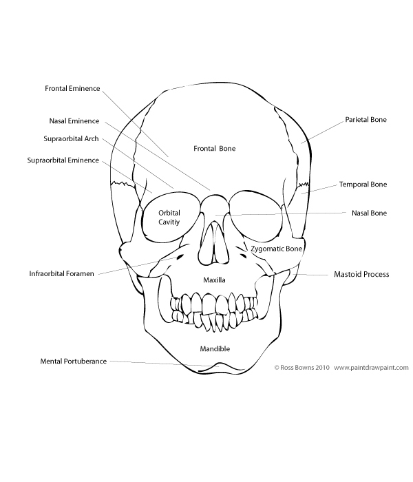 Paint draw paint learn to draw drawing basics anatomy of the skull anterior aspect of the human skull ccuart Images