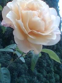 Rosas en Lugo