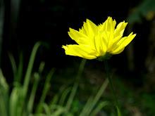被遗忘的小黄花