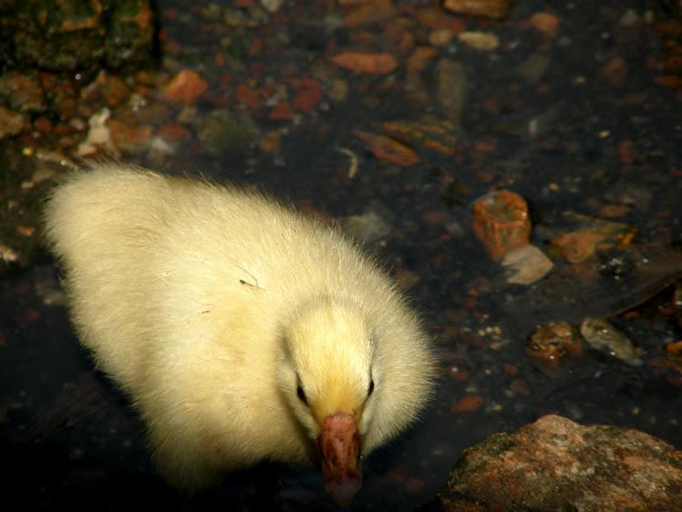 关于鹅的情事(二)