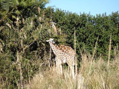 Location: Africa at Disney's Animal Kingdom.