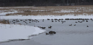 waterfowl on Pentwater Lake