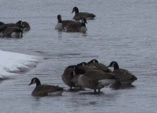 Canada geese on Pentwater Lake
