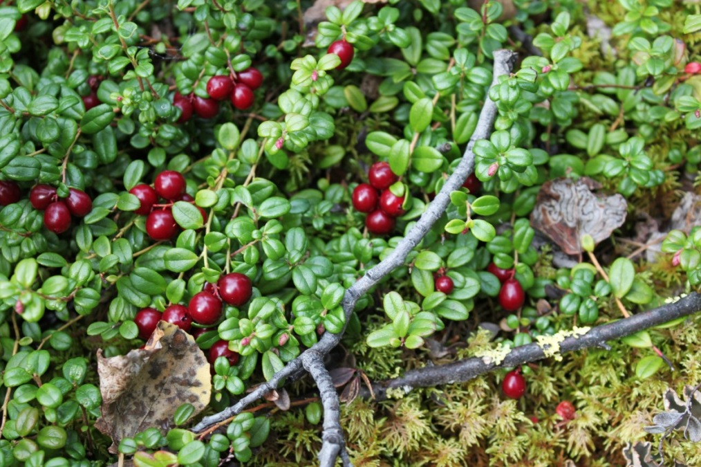 Lingonberries? Lowbush Cranberries? Yes! They're one and the same.