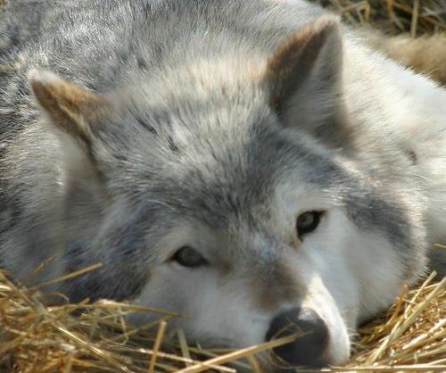 Manada: Guardianes del bosque - Página 23 Sad+wolf