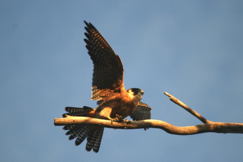 Falconiformes. sub Falconidae - sub fam Falconinae - gênero Falco - Página 2 1+Australian+Hobby_1