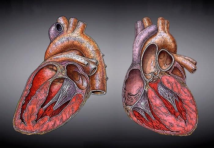 Aprendiendo con la tecnologia: Órganos del ser humano: corazón ...