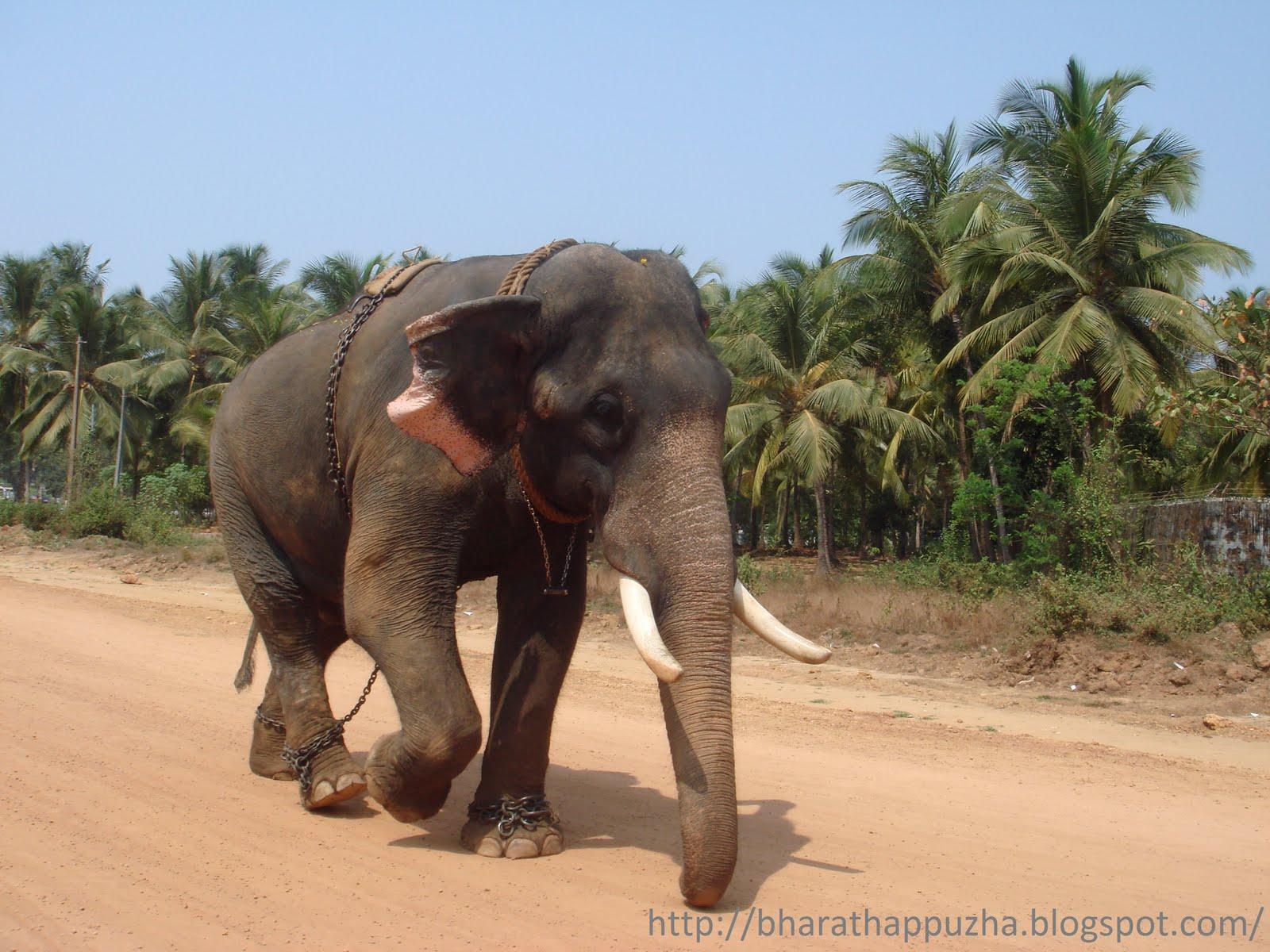 Kerala Elephant   bharathappuzha