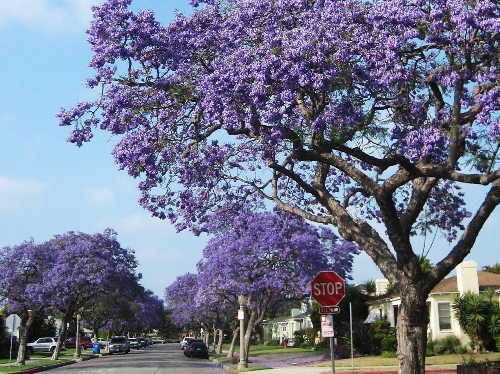 La places jacarandas jacarandas jacaranda trees izmirmasajfo Images