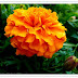 Marigold Flowers Care Itself