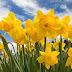 Daffodil Days