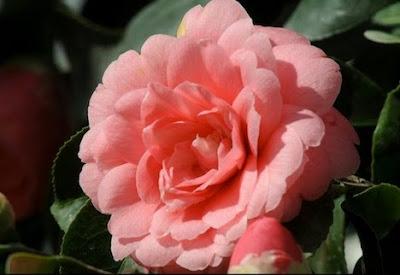 Middlemist Merah (Middlemist camellia)