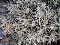 Helicrisum Italicum