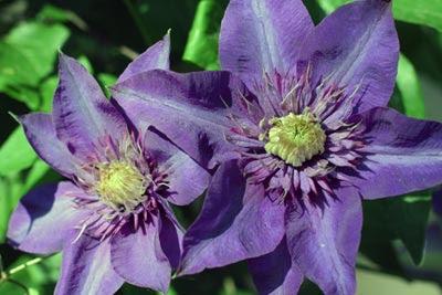 purple clematis detail.