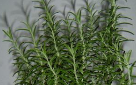 Ceai din rozmarin – planta medicinala antica