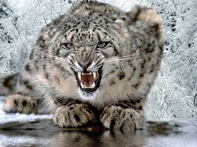 The prowling Snow Leopard