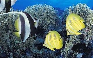 Tropical fish swimming north because of global warming