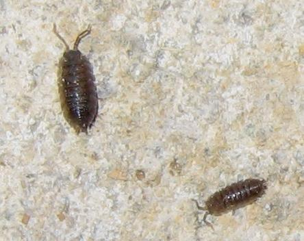 sow bugs are crustaceans and have lots of ocean based cousins they are