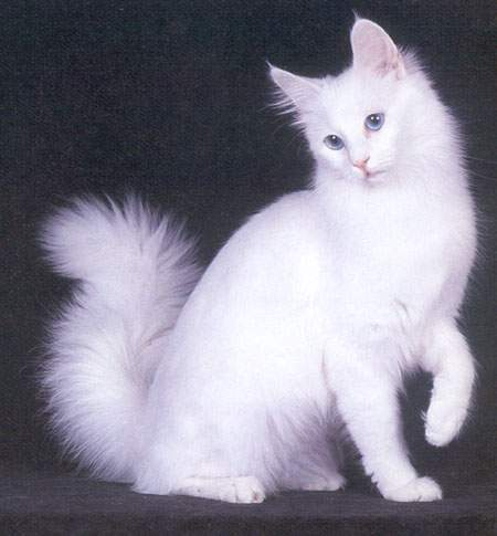 Goleoo - Gambar - anak kucing anggora