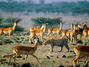 Leopard Among Impalas, Kenya Images, Picture, Photos, Wallpapers