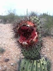 Fruto sabroso del desierto, listo para deleitar.