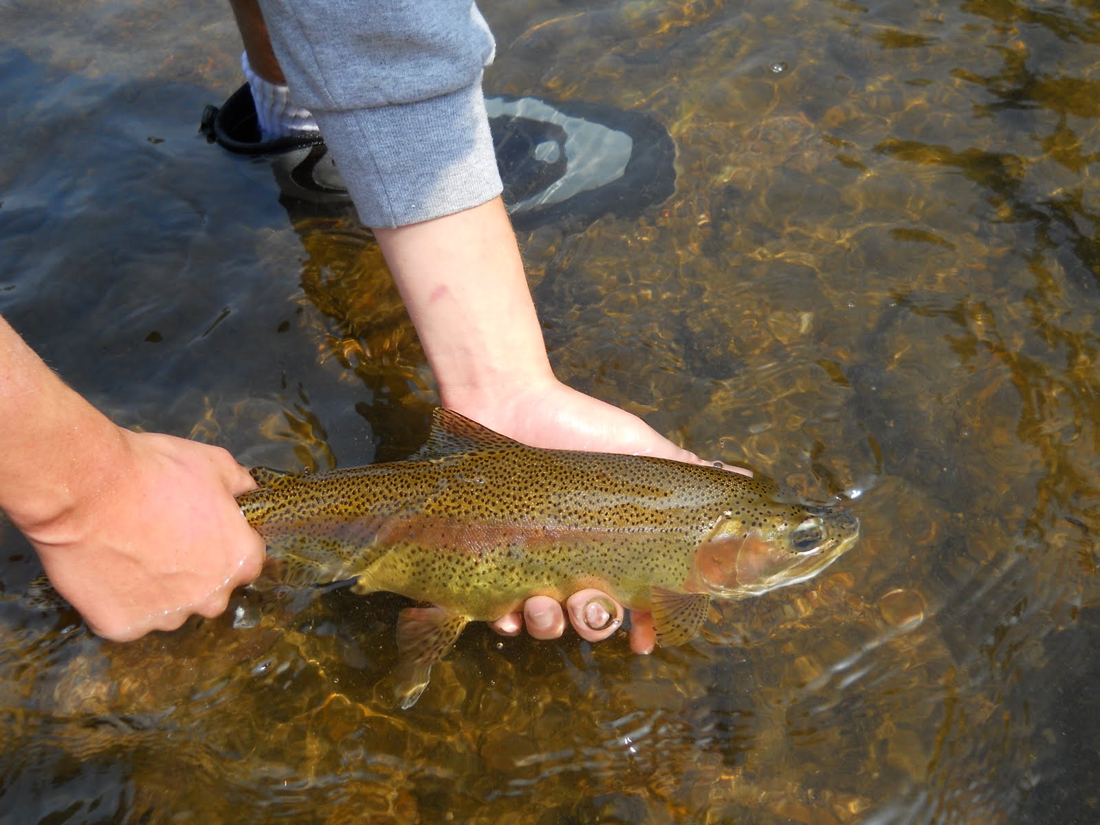 Brown trout fly fishing watauga river dry and dropper fishing for Watauga river fishing