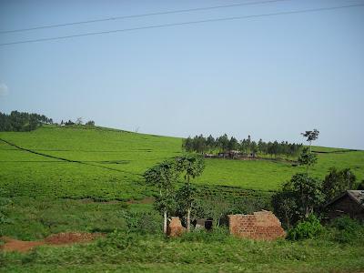 A tea plantation on the road to Jinja