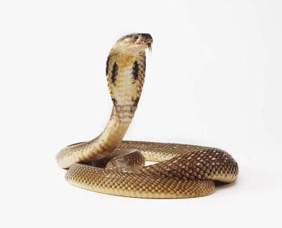 http://1.bp.blogspot.com/_CmV0TKhIY0w/TOPiSaxcikI/AAAAAAAABMo/ml3jzcLdR94/s400/spitting-cobra.jpg