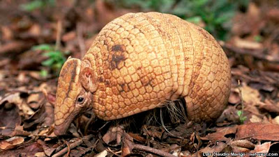 Three-banded armadillo