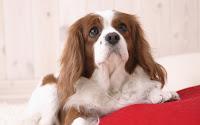 papel de parede cachorro sentado