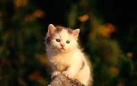papel de parede gatinho em cima da pedra