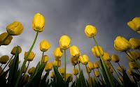 papel de parede tulipas