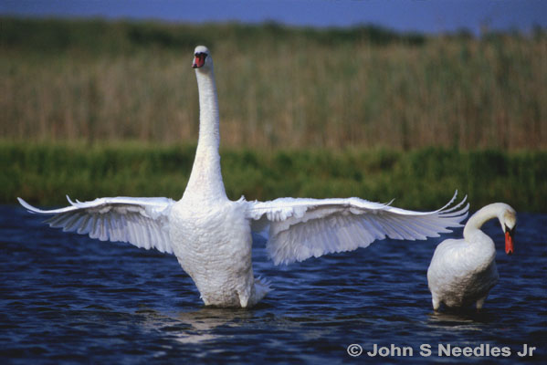 3_WILDLIFE_ Mating Swans