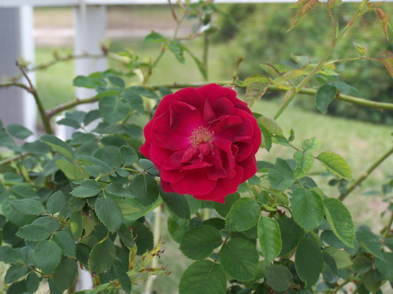 [Christine+G-+rose.jpg]