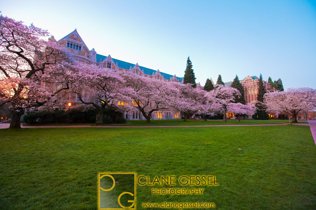 uw cherry blossoms, uw quad spring