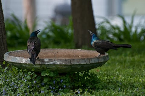 common grackle female. house common grackle bird.