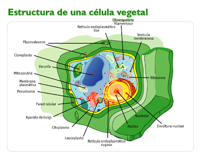 celula vegetal e animal. celula vegetal y celula animal. Célula Vegetal. (Fig. 2); Célula Vegetal. (Fig. 2). leon44. Mar 31, 02:47 PM. I like it,