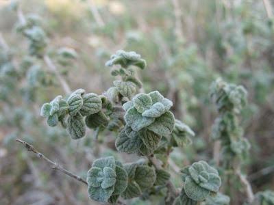 Майоран, растение семейства яснотковых (губоцветных). В иракском варианте - тот самый базрингош, как поётся в старинной ираской народной песне