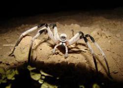 Descubierta en Israel una nueva especie de araña. Cerbalus aravensis
