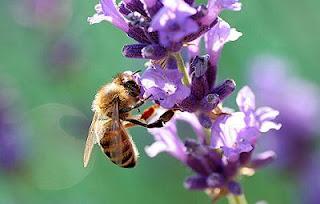 Las abejas, en riesgo por la pérdida de biodiversidad