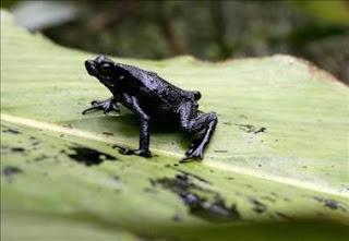 Cinco nuevas especies de ranas en selva amazónica de Ecuador. EFE