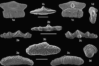 Fósiles hallados en Vega de Pas. U. de Cantabria
