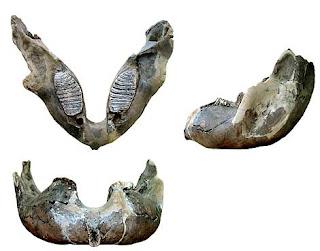 Mandíbula del mamut. Diego Álvarez / FYCIT