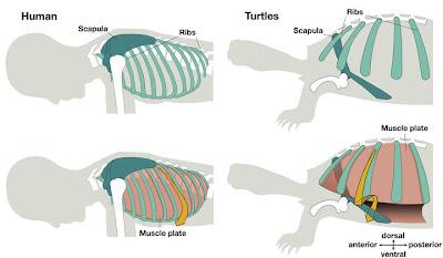 Evolución del omóplato y las costillas en los seres humanos y las tortugas. SCIENCE