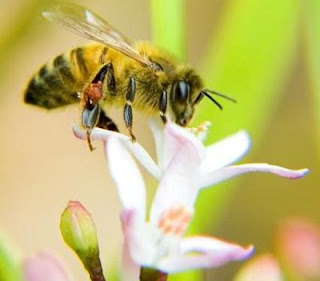 ¿Qué ocurriría si se extinguieran las abejas?